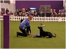 Labrador retriever Heart preparing for Westminster Kennel Club Dog Show competition